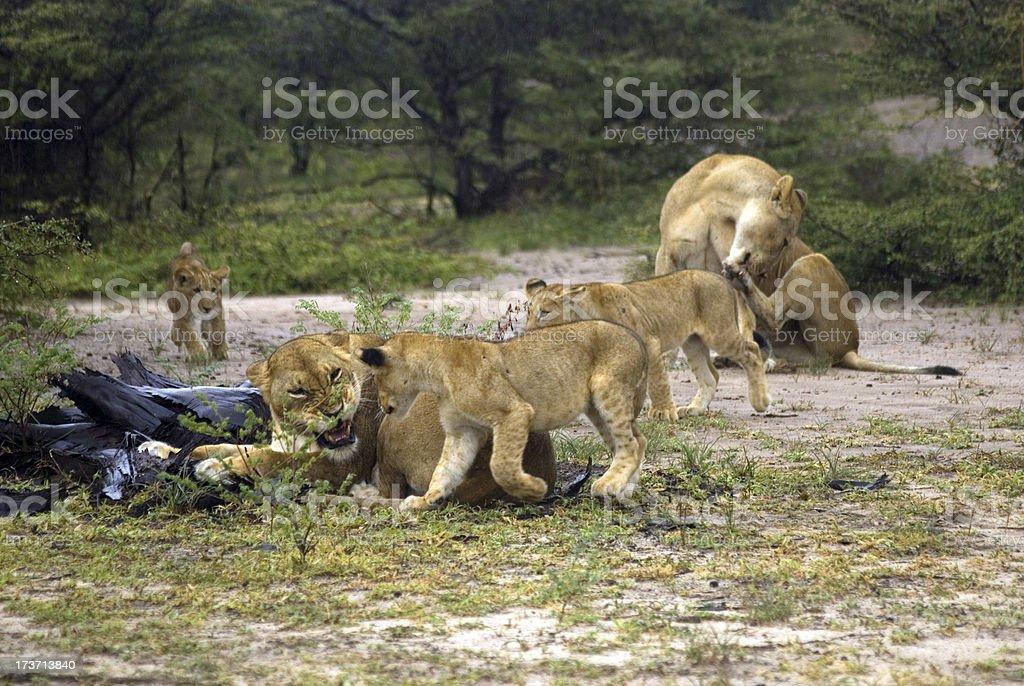 Lion cubs, Selous National Park, Tanzania stock photo