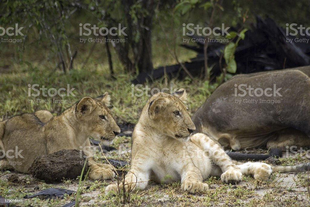Lion cubs, Selous National Park, Tanzania royalty-free stock photo