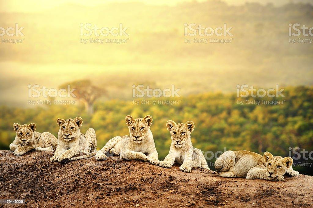 Lions'ensemble. photo libre de droits