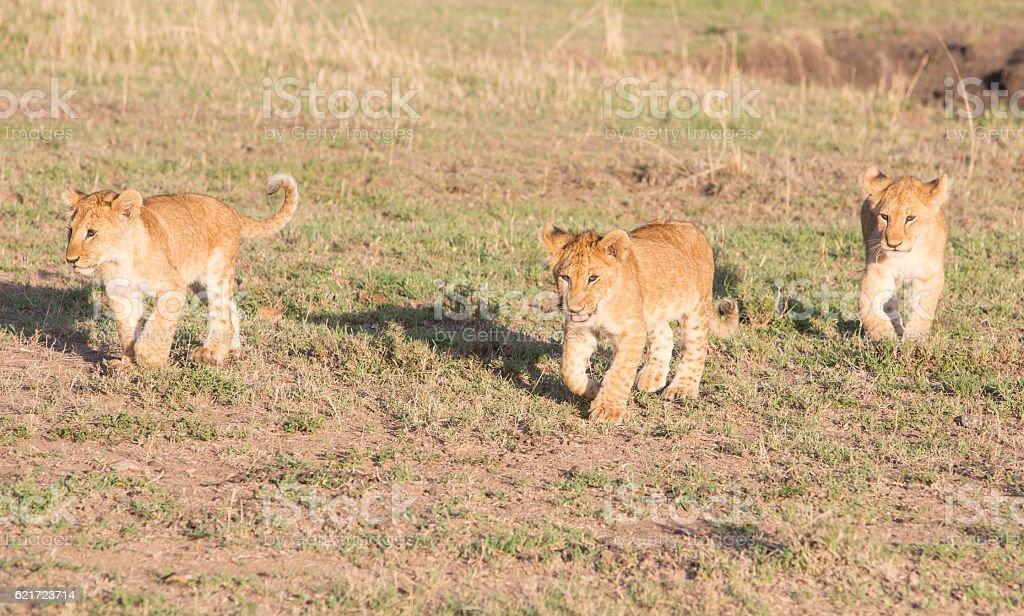 Lion cubs walking over savannah i Amboseli Game Reserve, Kenya stock photo