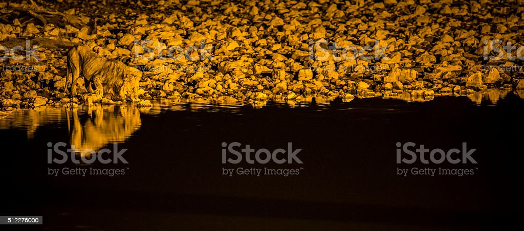 Lion drinking from a flood lit water hole stock photo