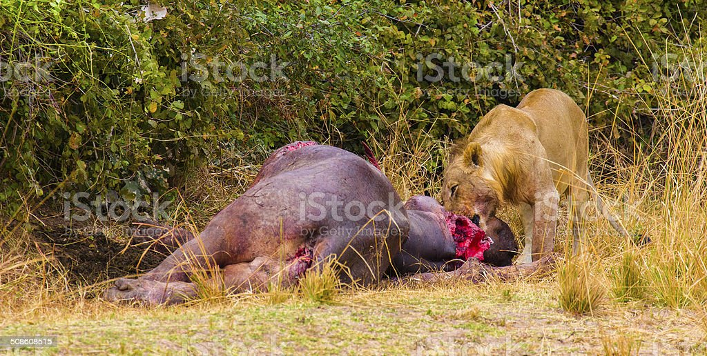 Lion eating a hippo stock photo