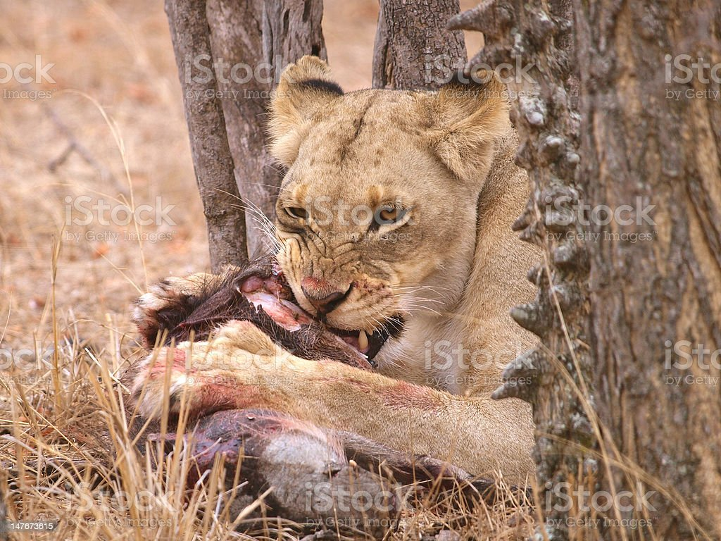 Lion eating her prey stock photo