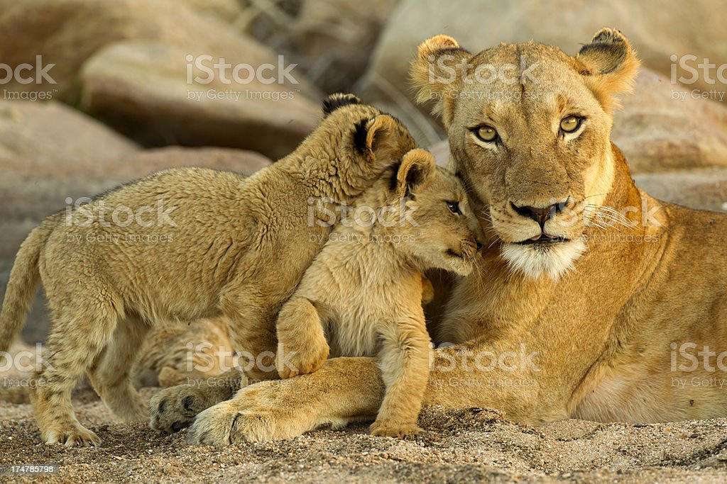 Lion Pictures, Images and Stock Photos - iStock
