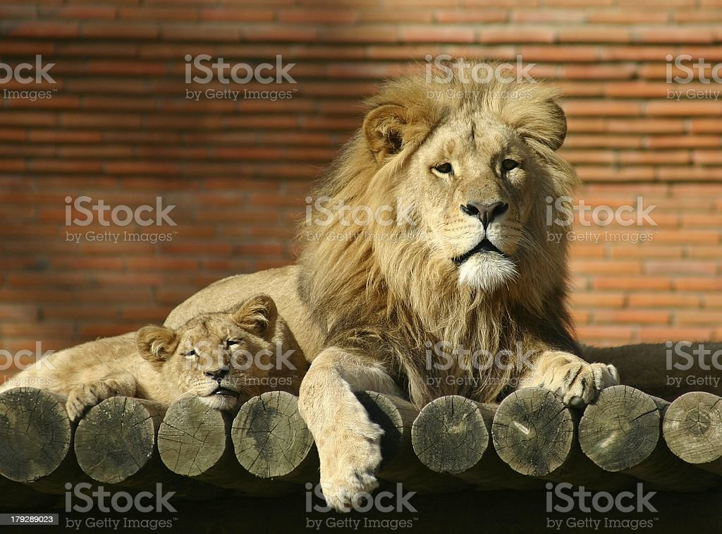 Lion family royalty-free stock photo