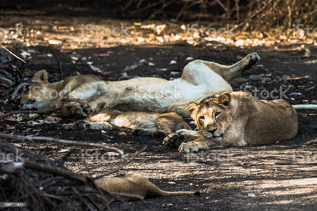 Lion family resting stock photo