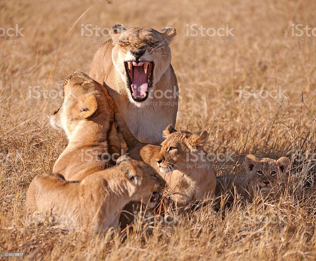 Lion family time, Botswana, Africa stock photo