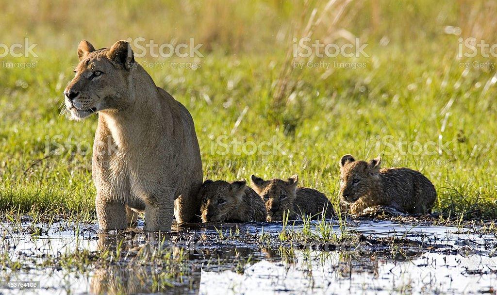 Lion family wading through shallows stock photo