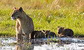 Lion family wading through shallows