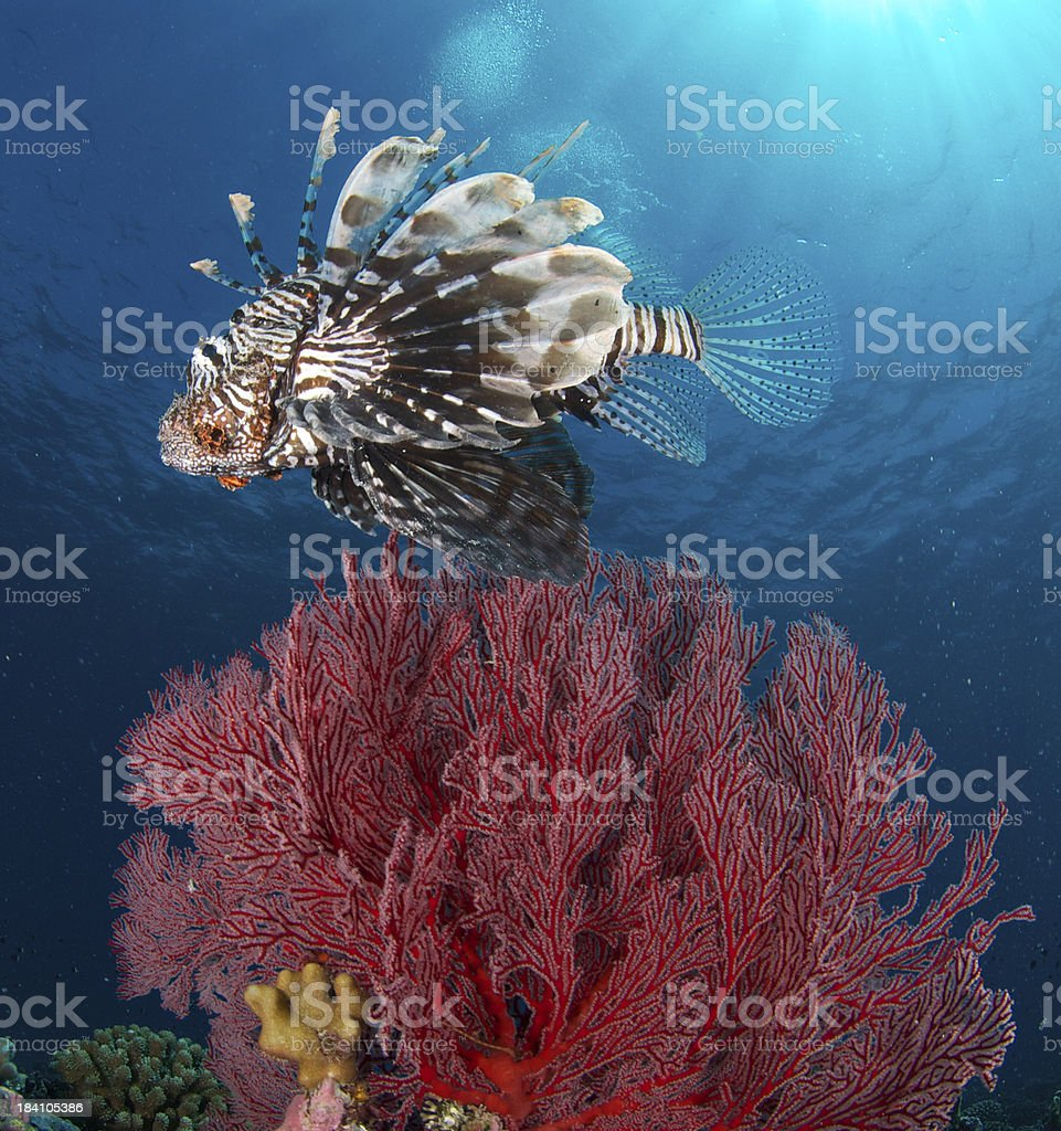 lion fish above red gorgonian fan royalty-free stock photo