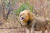 Lion from Kruger National Park, South Africa