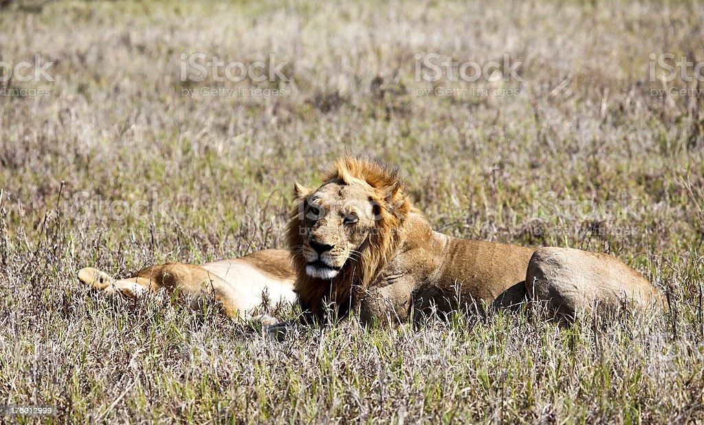 Lion guarding sleeping lioness (Panthera leo) royalty-free stock photo