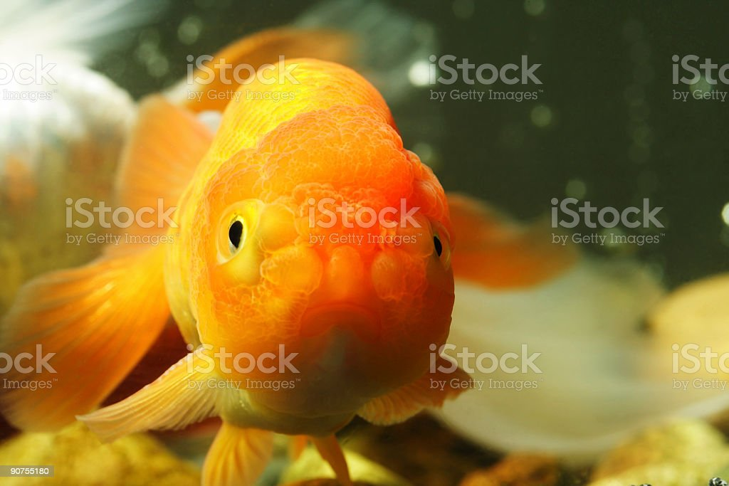 Lion head goldfish stock photo