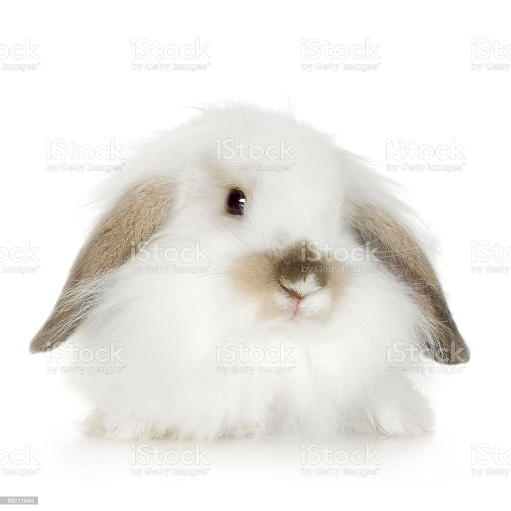 Lion headed lop rabbit (8 weeks) royalty-free stock photo