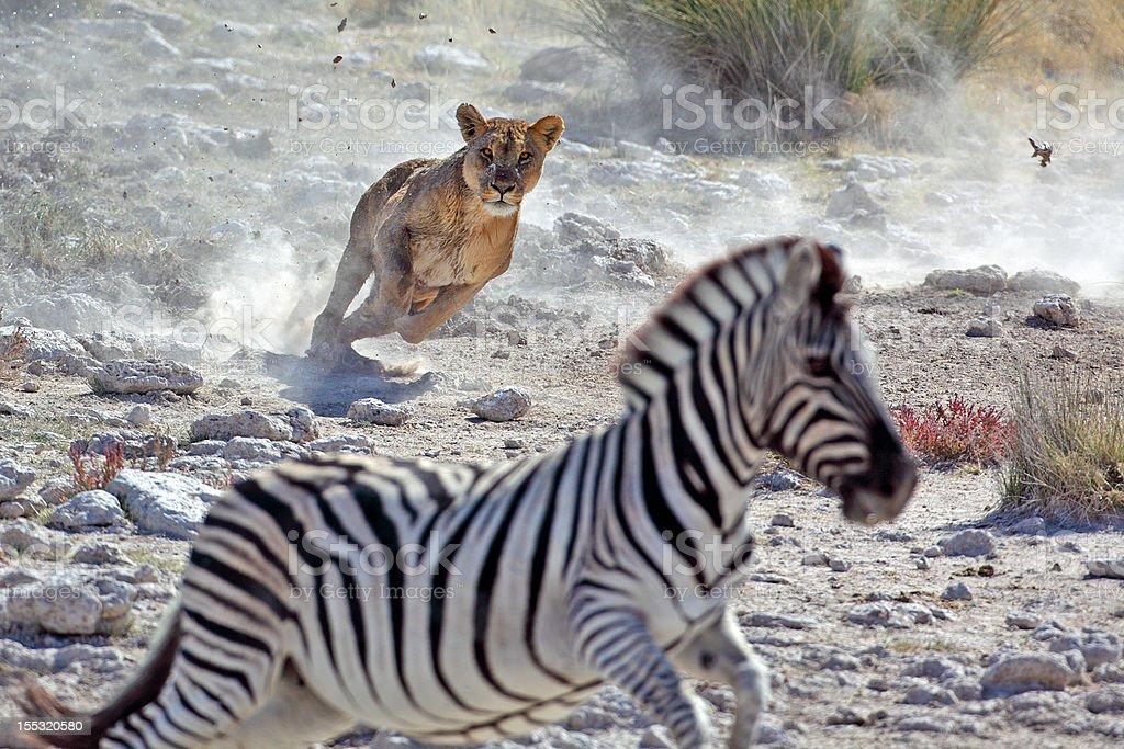 Lion hunting zebra stock photo