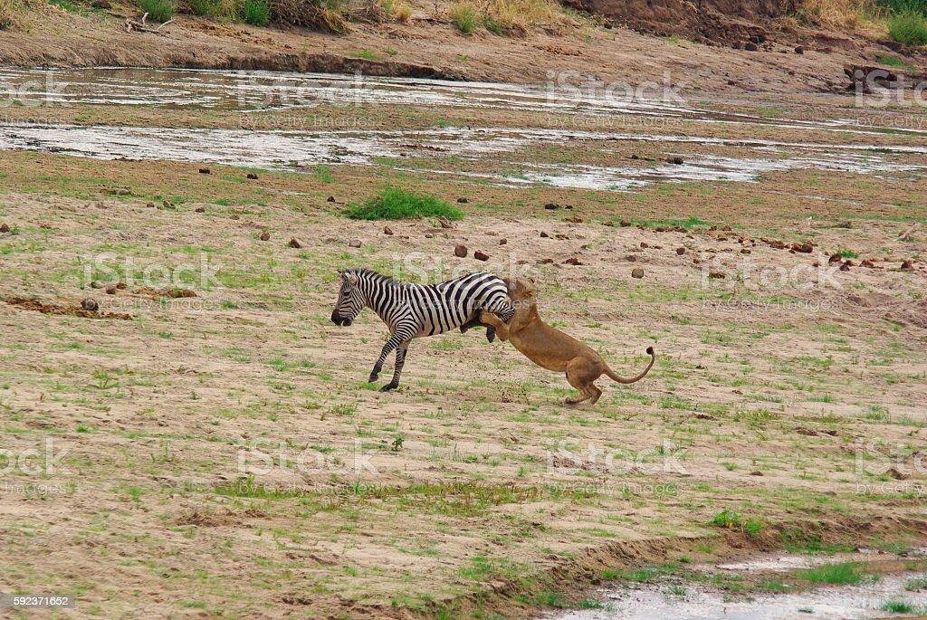 Lion hunts a Zebra stock photo