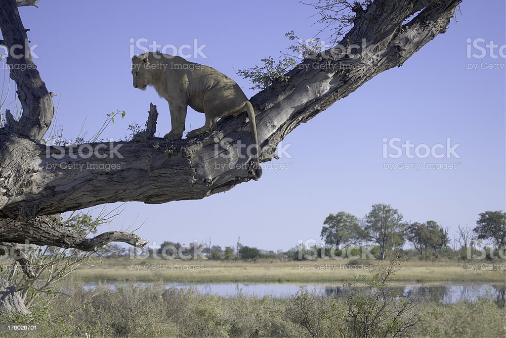 Lion in a tree royalty-free stock photo