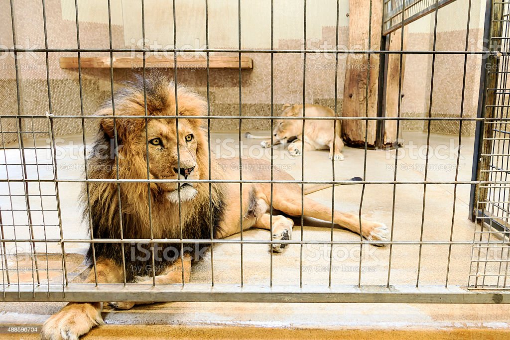 Lion in captivity stock photo