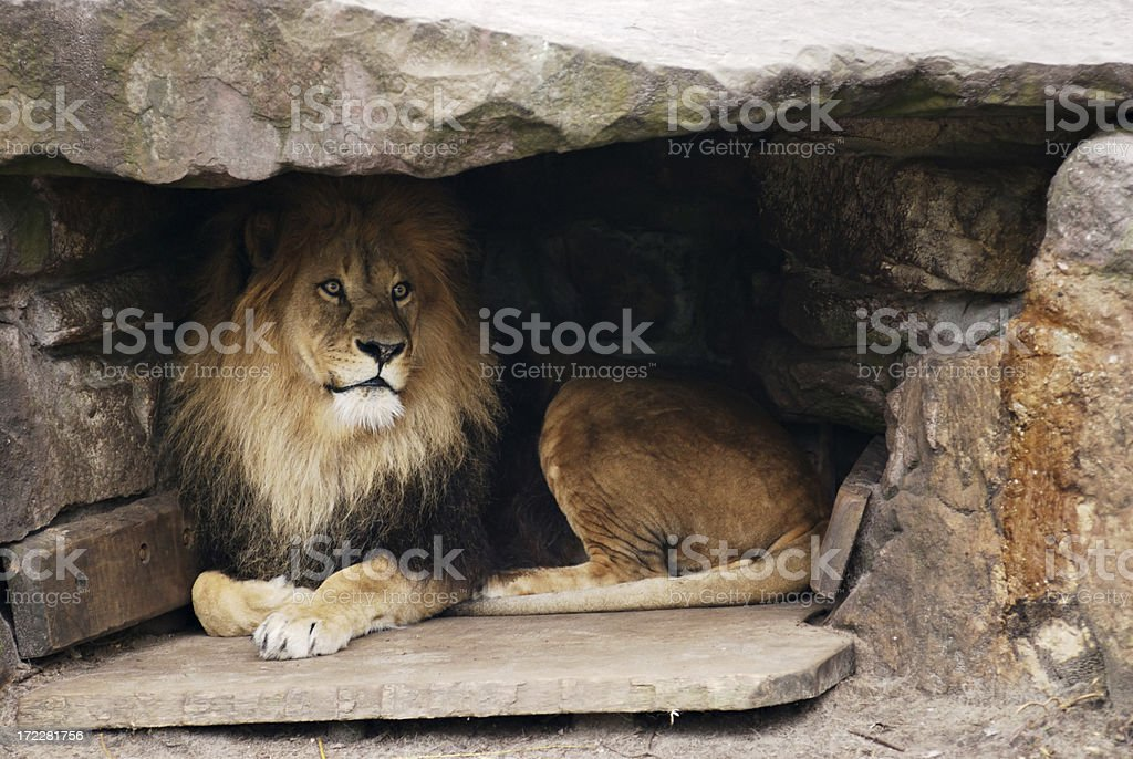lion in cave stock photo
