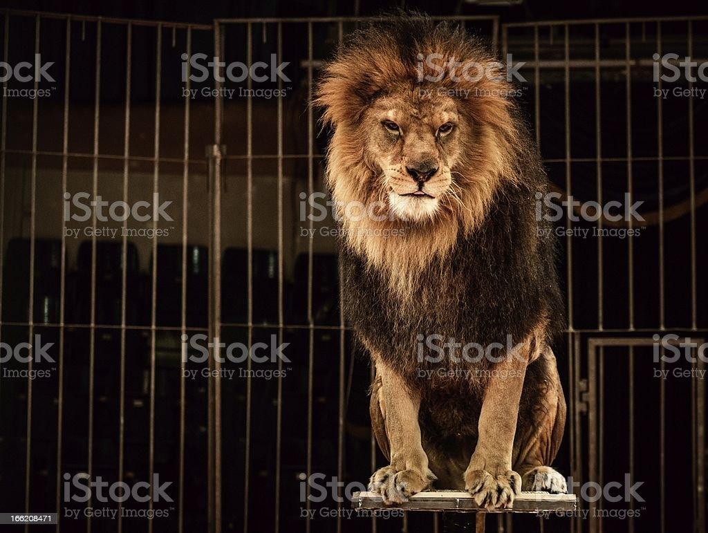 Lion in circus cage stock photo