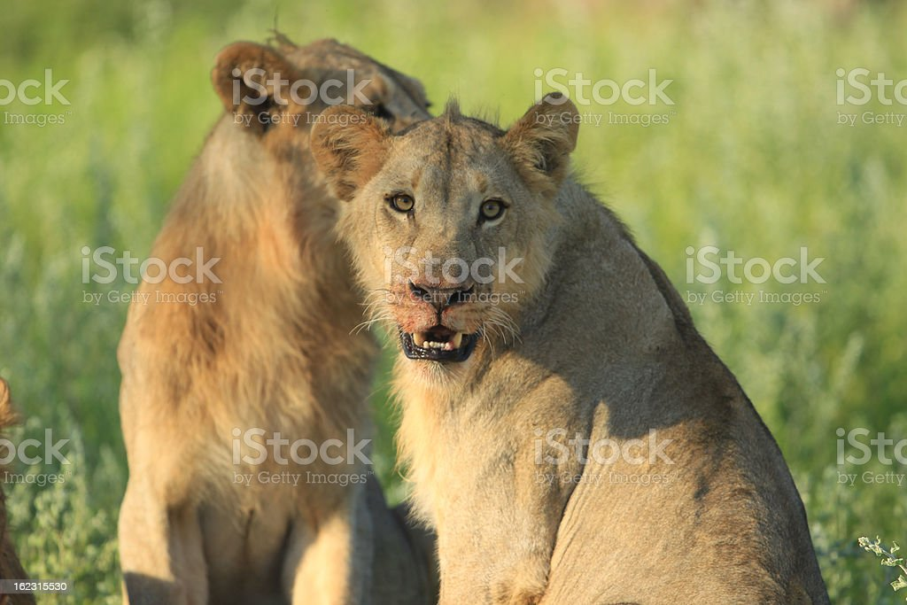 Lion in Grass royalty-free stock photo