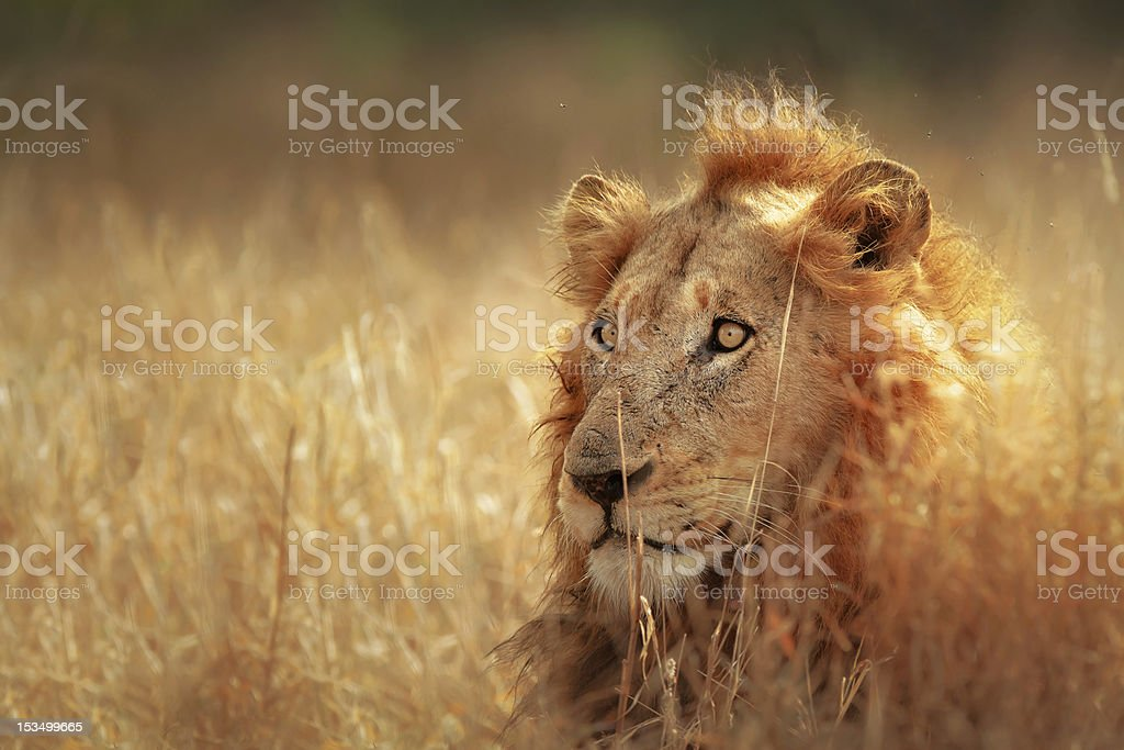Lion in grassland stock photo