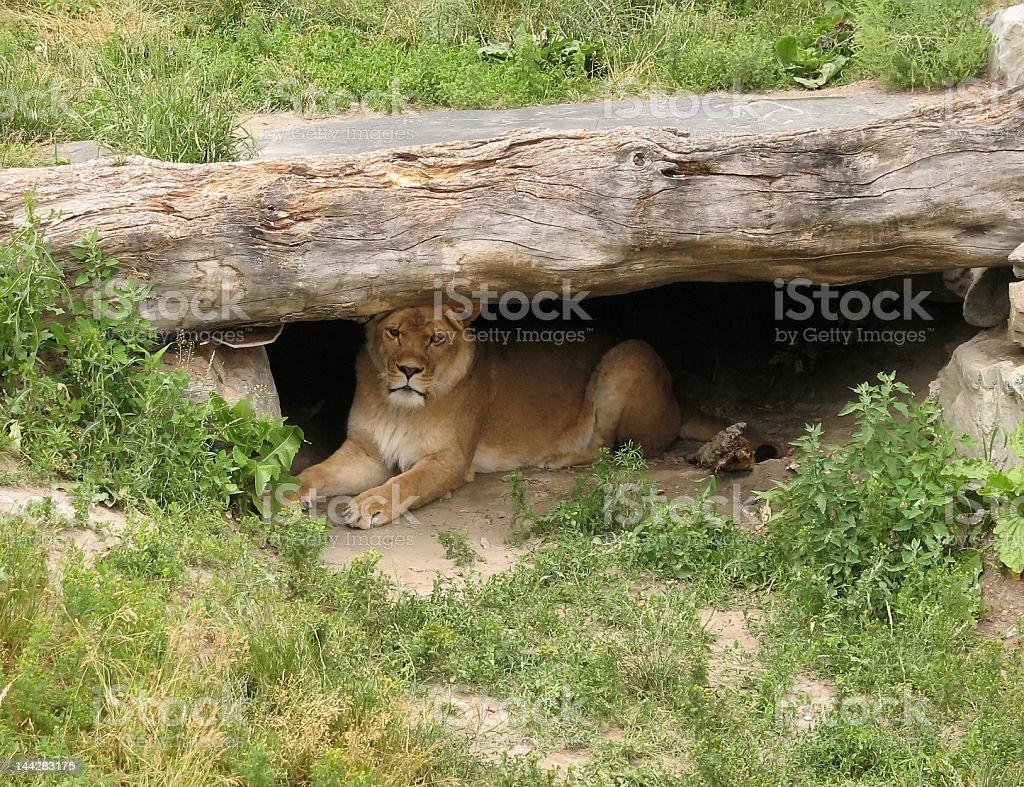 Lion in her den stock photo