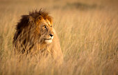Lion in high grass