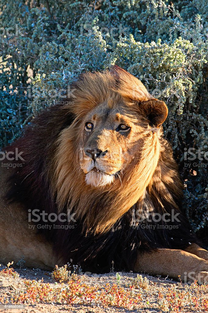 Lion in Karoo area. South Africa. stock photo