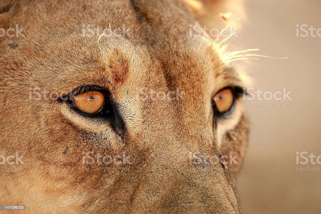 Lion in Kgalagadi royalty-free stock photo