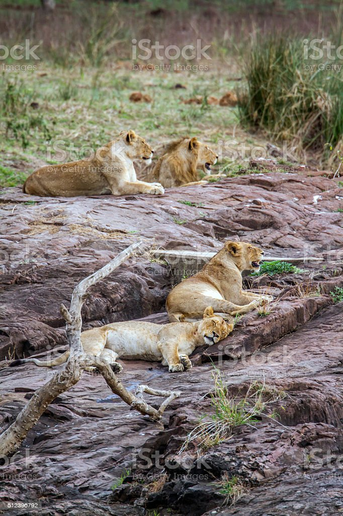 Lion in Kruger National park, South Africa stock photo