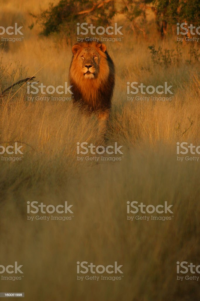 Lion in Morning light royalty-free stock photo