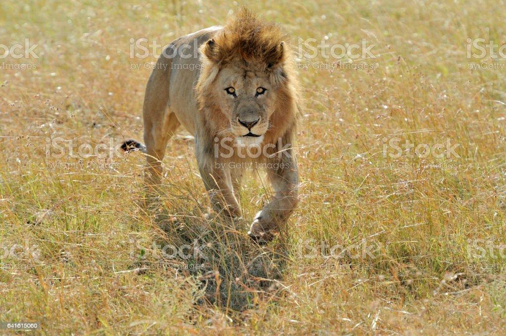 Lion in National park of Kenya stock photo
