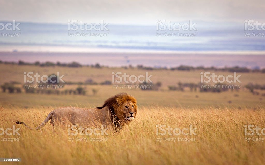 Lion in savannah stock photo