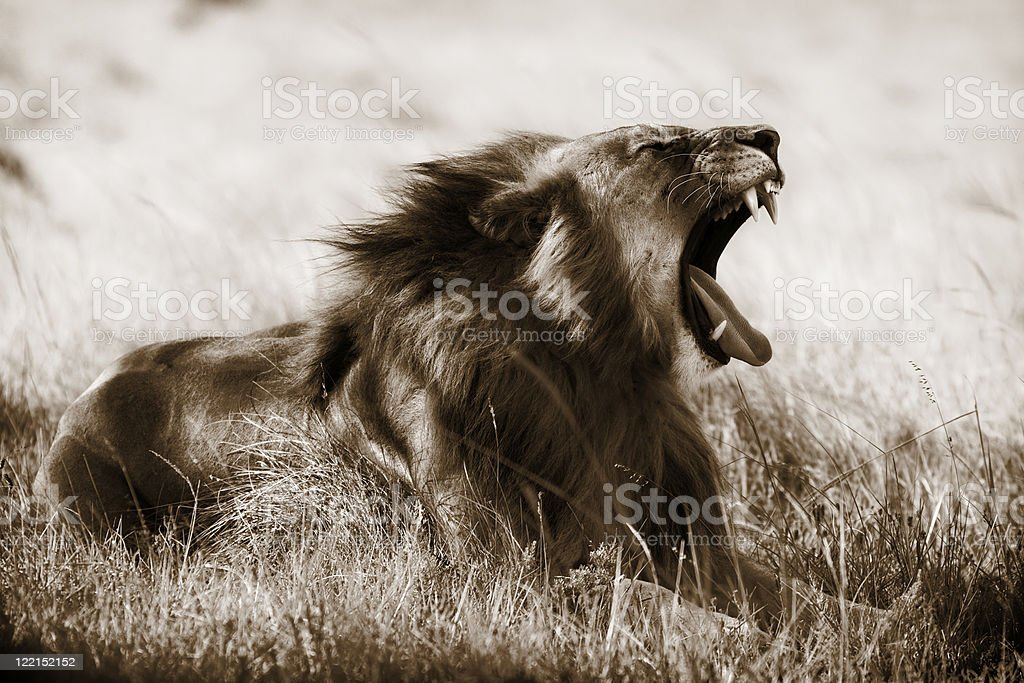Lion in sepia royalty-free stock photo
