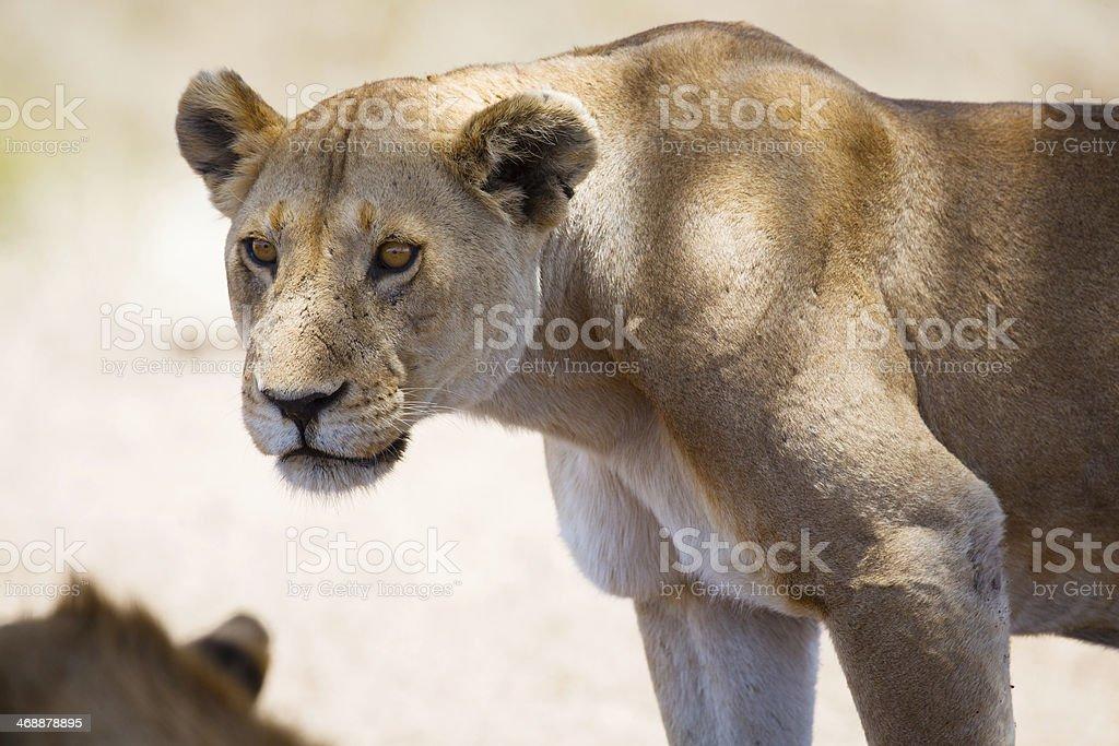 Lion in Tanzania stock photo