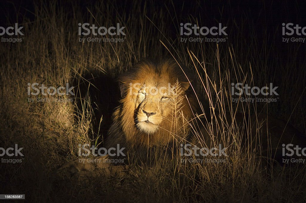 Lion in the bush at night royalty-free stock photo