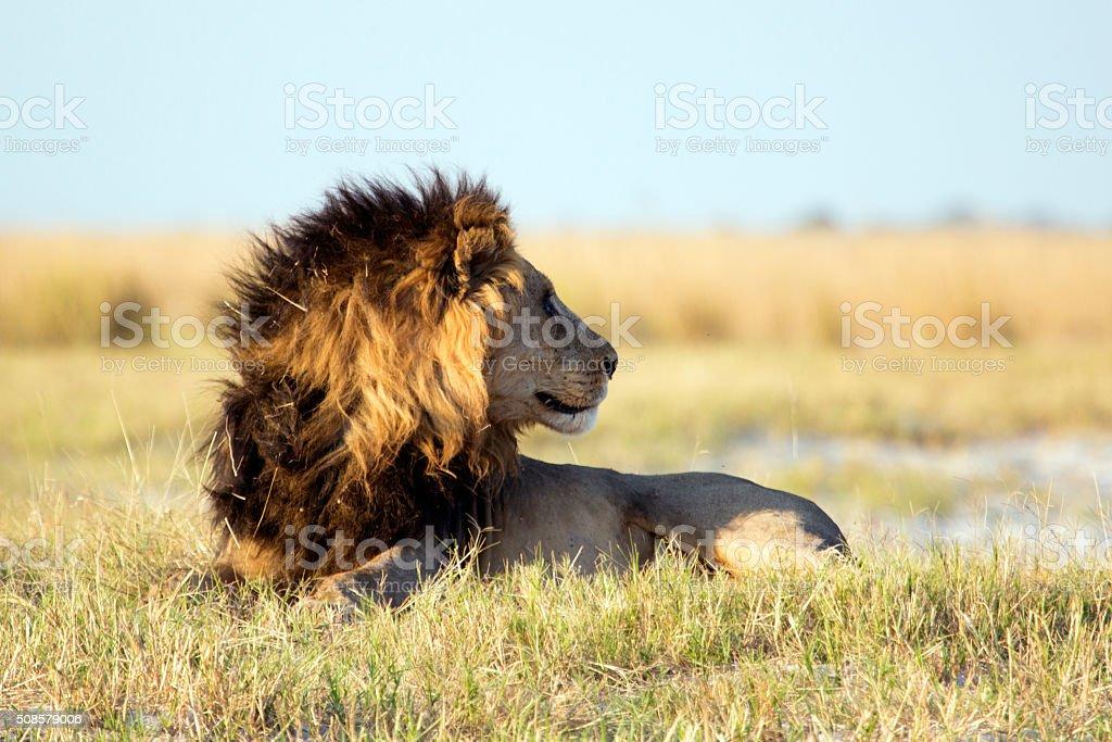 Lion in the bush veld stock photo