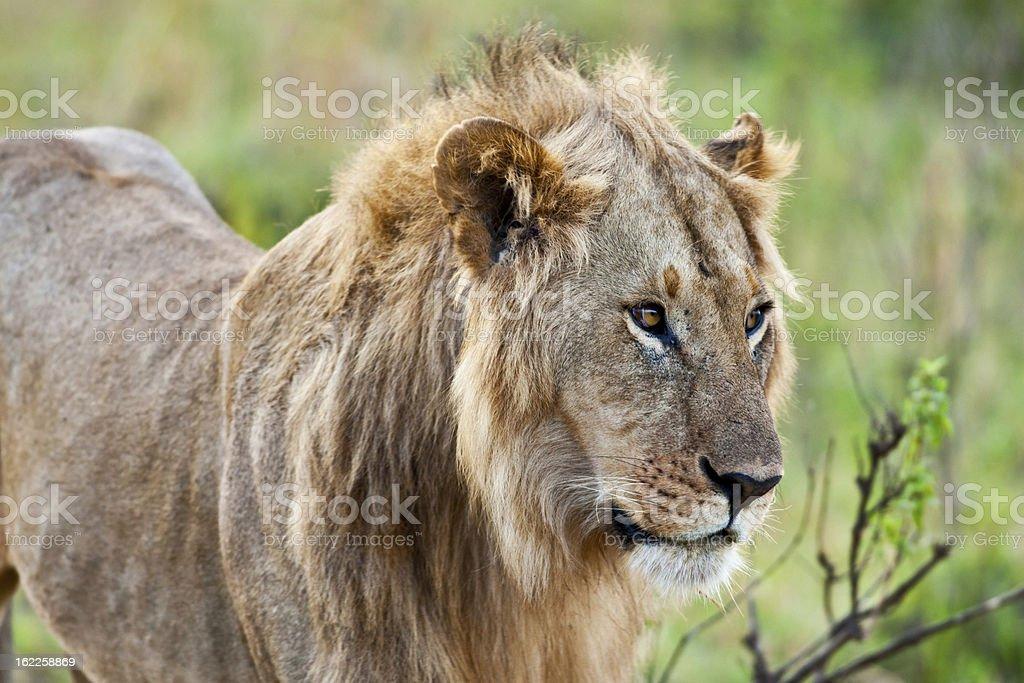 Lion in the Maasai Mara National Park royalty-free stock photo