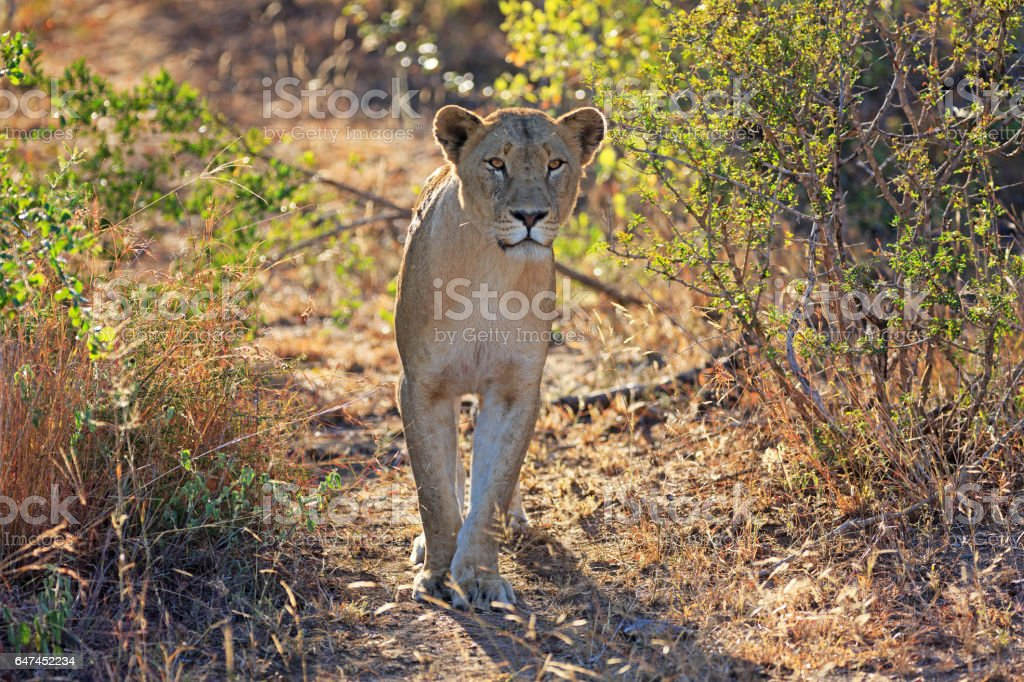Lion in the Sabi Sands Private Game Reserve in South Africa stock photo