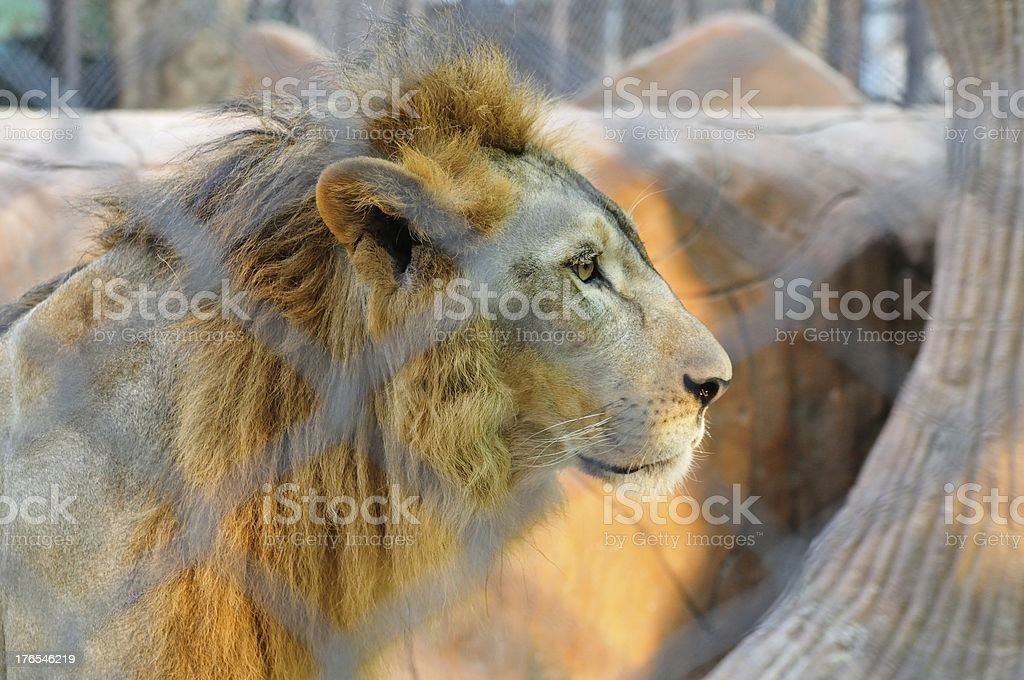 Lion in the Zoo royalty-free stock photo