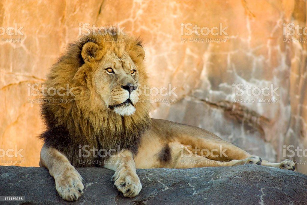 Lion King of Beasts Resting at Sunset stock photo