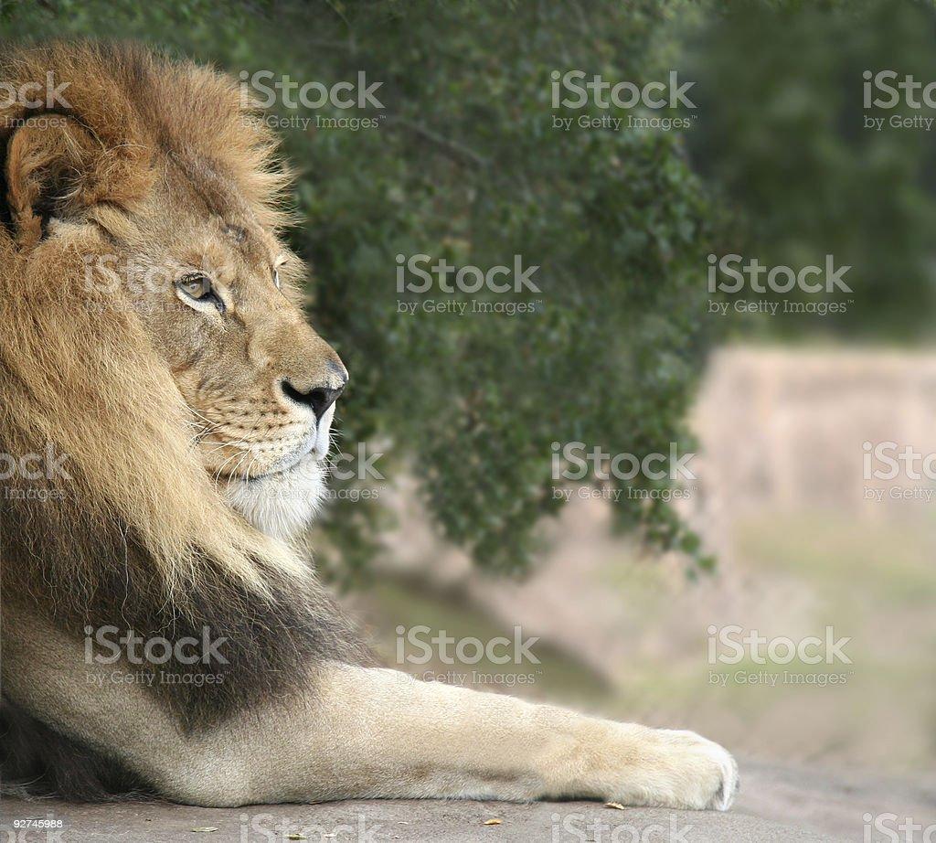 Lion con cama King foto de stock libre de derechos