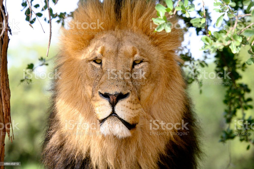 Lion King, South Africa royalty-free stock photo