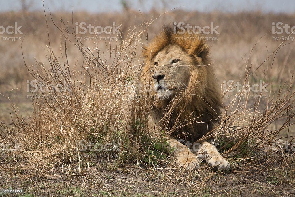 Lion laying down stock photo