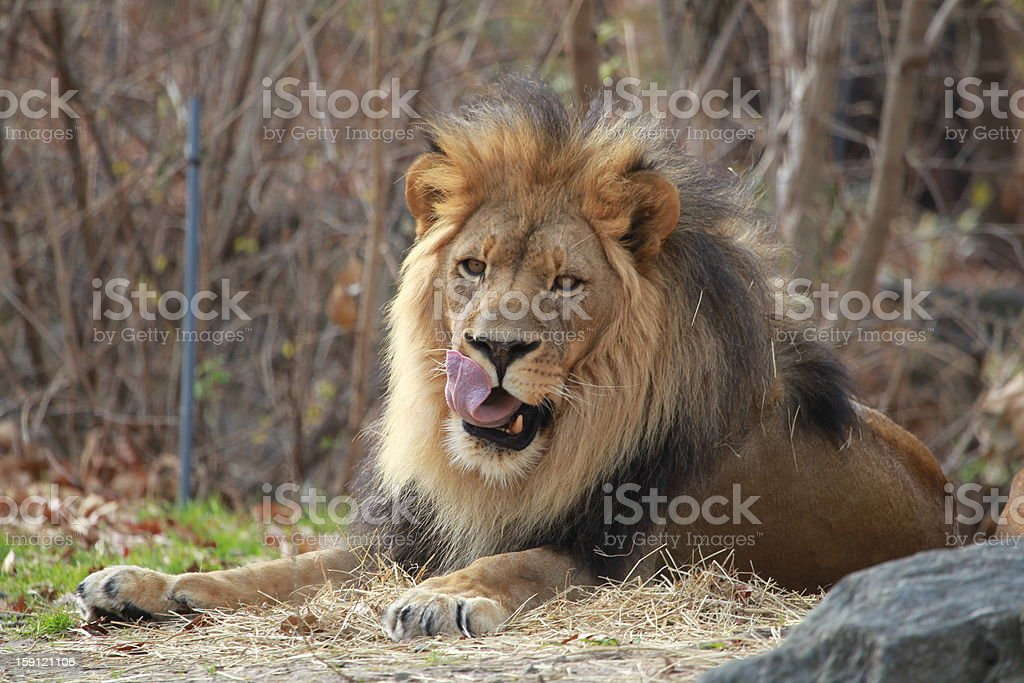 Lion Licks His Chops royalty-free stock photo