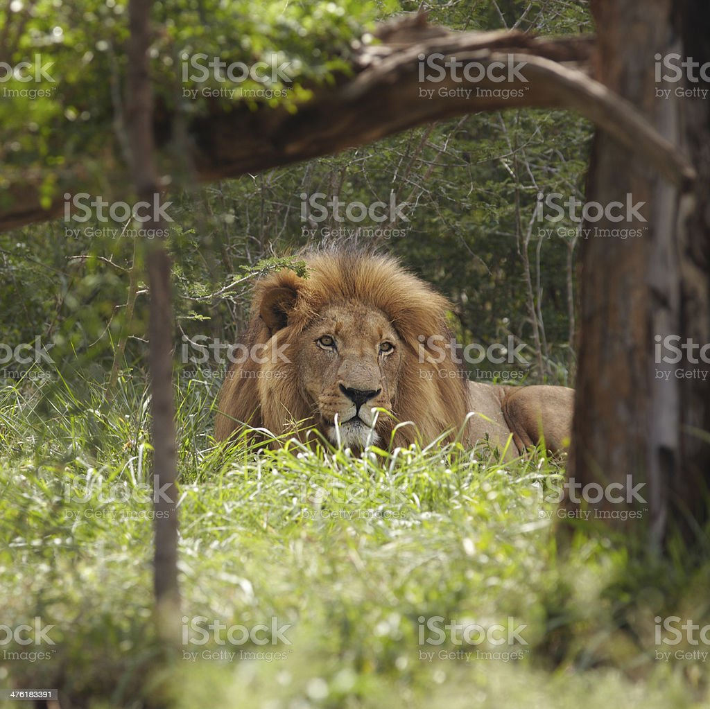 Lion lies in shade of tree royalty-free stock photo