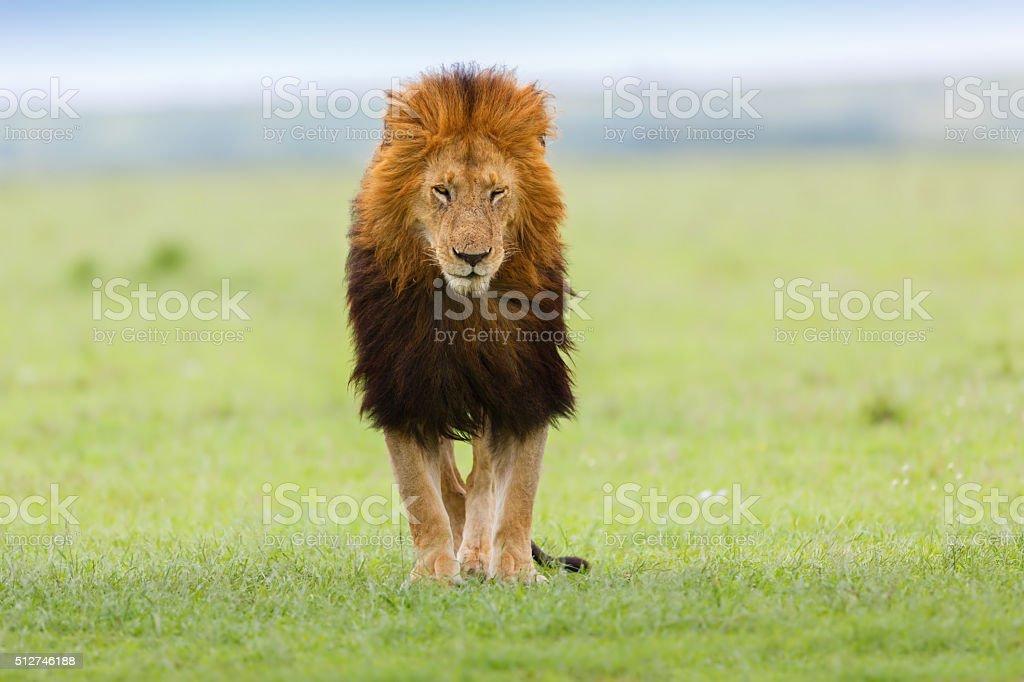 Lion Lipstick of Rekero Pride in Masai Mara stock photo