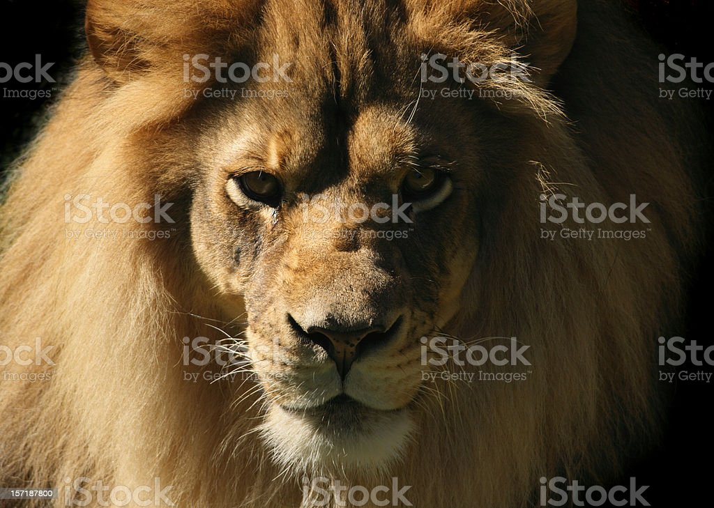 Lion Looking at Camera, Close-up Head and Shoulder Animal Portrait stock photo