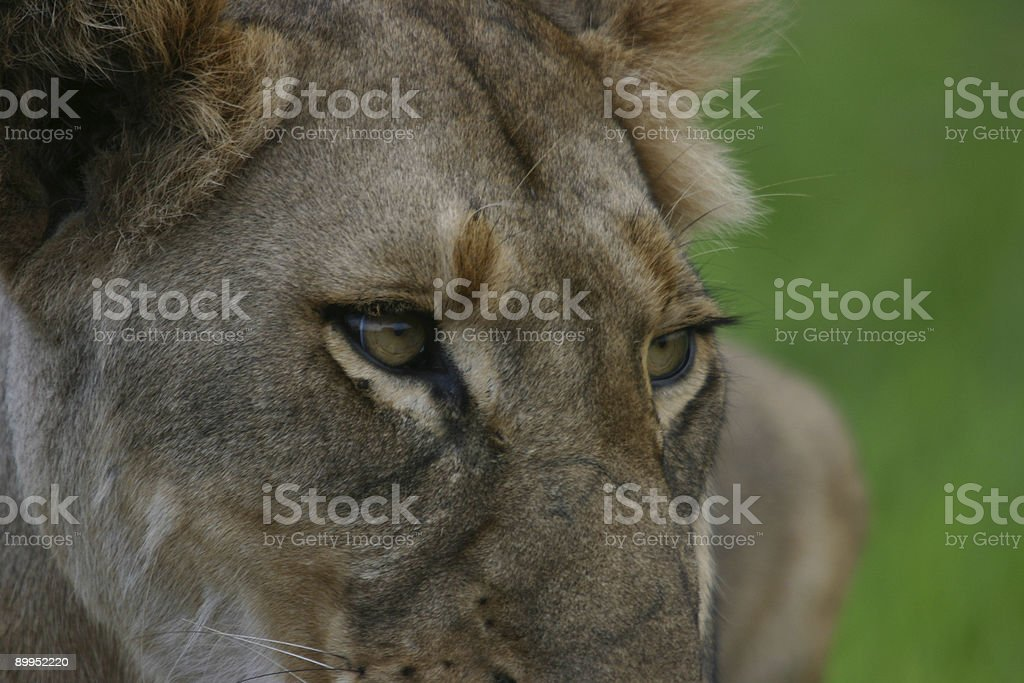 Lion looking at prey stock photo